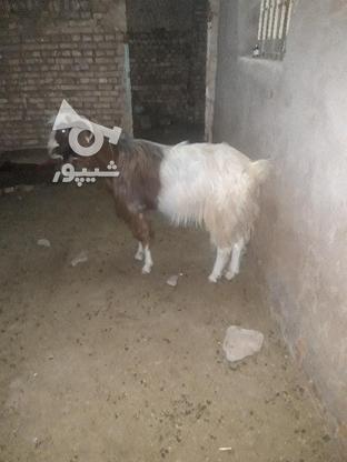 نربز تخمی ونژاد دار در گروه خرید و فروش ورزش فرهنگ فراغت در خراسان رضوی در شیپور-عکس1