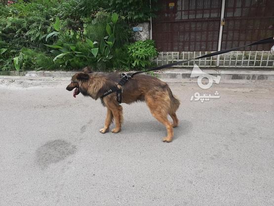 سگ ژرمن شپرد پلیس در گروه خرید و فروش ورزش فرهنگ فراغت در مازندران در شیپور-عکس1