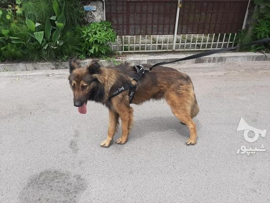 سگ ژرمن شپرد پلیس در گروه خرید و فروش ورزش فرهنگ فراغت در مازندران در شیپور-عکس2