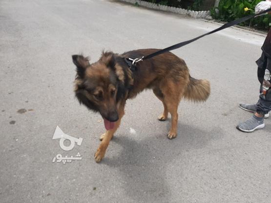 سگ ژرمن شپرد پلیس در گروه خرید و فروش ورزش فرهنگ فراغت در مازندران در شیپور-عکس4