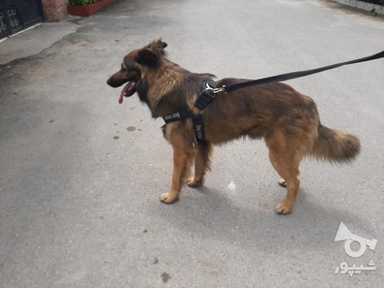 سگ ژرمن شپرد پلیس در گروه خرید و فروش ورزش فرهنگ فراغت در مازندران در شیپور-عکس3