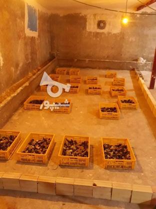 پیش فروش بلدرچین ماده تخم گذار و گوشتی در گروه خرید و فروش ورزش فرهنگ فراغت در آذربایجان شرقی در شیپور-عکس1