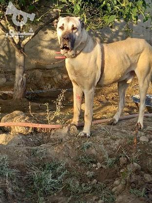 سگ سرابی اصیل در گروه خرید و فروش ورزش فرهنگ فراغت در البرز در شیپور-عکس1