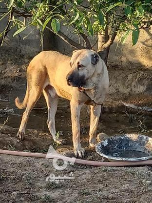 سگ سرابی اصیل در گروه خرید و فروش ورزش فرهنگ فراغت در البرز در شیپور-عکس3