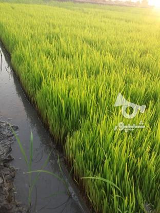 بذر شالی سبدی در گروه خرید و فروش صنعتی، اداری و تجاری در مازندران در شیپور-عکس1