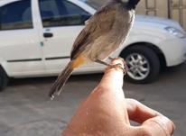 جفتی فنچ مرغ عشق بلبل دستی رام با نمک در شیپور-عکس کوچک