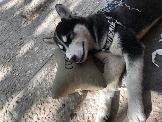 سگ هاسکی واکسینه معاوضه در گروه خرید و فروش ورزش فرهنگ فراغت در اصفهان در شیپور-عکس1