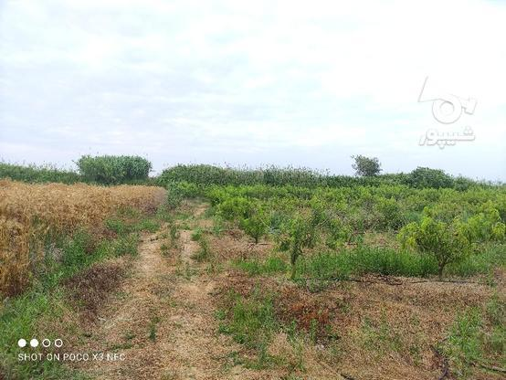 1 هکتار باغ هلو شلیل در گروه خرید و فروش املاک در مازندران در شیپور-عکس7