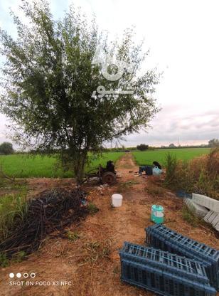 1 هکتار باغ هلو شلیل در گروه خرید و فروش املاک در مازندران در شیپور-عکس5