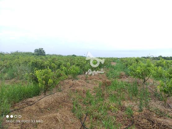 1 هکتار باغ هلو شلیل در گروه خرید و فروش املاک در مازندران در شیپور-عکس1