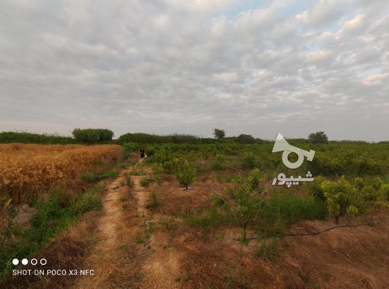 1 هکتار باغ هلو شلیل در گروه خرید و فروش املاک در مازندران در شیپور-عکس4