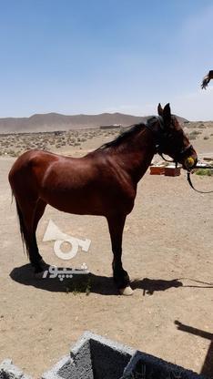 اسب مادیون در گروه خرید و فروش ورزش فرهنگ فراغت در فارس در شیپور-عکس1