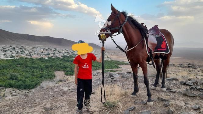 اسب مادیون در گروه خرید و فروش ورزش فرهنگ فراغت در فارس در شیپور-عکس3