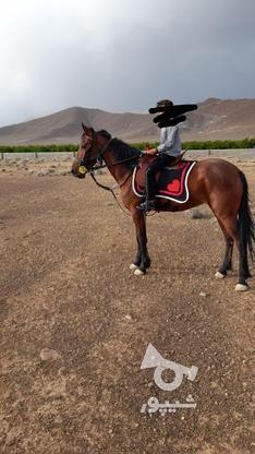 اسب مادیون در گروه خرید و فروش ورزش فرهنگ فراغت در فارس در شیپور-عکس2