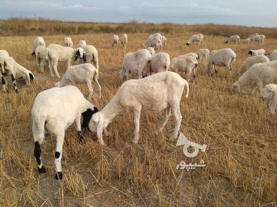 گوسفند نر بره پاکستانی در گروه خرید و فروش ورزش فرهنگ فراغت در مازندران در شیپور-عکس2