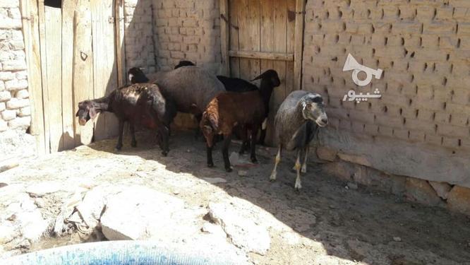 قوچ هترو (چندقلوزا) و میش و شیشک قزل افشار در گروه خرید و فروش ورزش فرهنگ فراغت در آذربایجان شرقی در شیپور-عکس1
