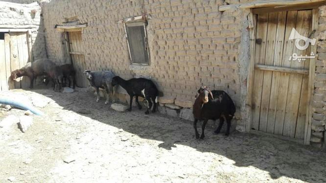 قوچ هترو (چندقلوزا) و میش و شیشک قزل افشار در گروه خرید و فروش ورزش فرهنگ فراغت در آذربایجان شرقی در شیپور-عکس2