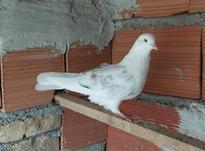 پشت سنگی نر. چشم سفید در شیپور-عکس کوچک
