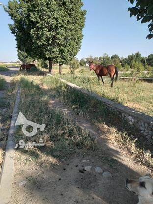 اسب مادیان کرد آبستن در گروه خرید و فروش ورزش فرهنگ فراغت در آذربایجان شرقی در شیپور-عکس3