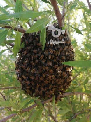 فروش کلنی زنبور عسل با عسل گشنیز خالص در گروه خرید و فروش صنعتی، اداری و تجاری در اصفهان در شیپور-عکس4