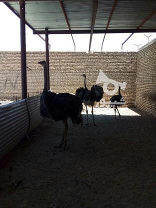 فروش مرغ و خروس و غاز و شترمرغ در گروه خرید و فروش ورزش فرهنگ فراغت در یزد در شیپور-عکس1