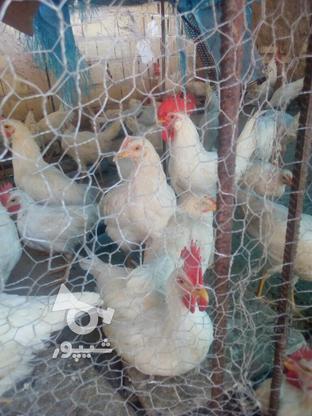فروش مرغ و خروس و غاز و شترمرغ در گروه خرید و فروش ورزش فرهنگ فراغت در یزد در شیپور-عکس3