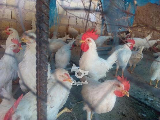 فروش مرغ و خروس و غاز و شترمرغ در گروه خرید و فروش ورزش فرهنگ فراغت در یزد در شیپور-عکس4