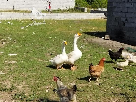 3 عدد بچه قو غاز سفید در گروه خرید و فروش ورزش فرهنگ فراغت در مازندران در شیپور-عکس1