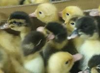 فروش اردک محلی پکنی در شیپور-عکس کوچک