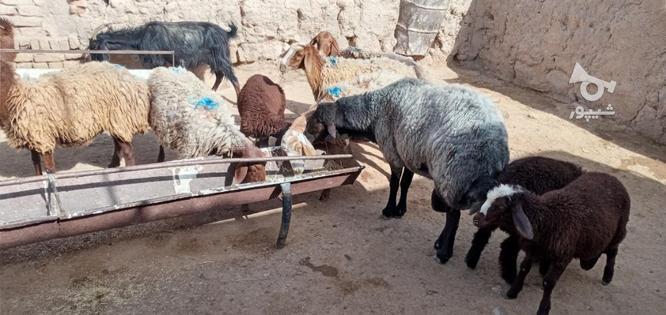 گوسفند گله گرد سرحال فروشی در گروه خرید و فروش ورزش فرهنگ فراغت در خراسان رضوی در شیپور-عکس5