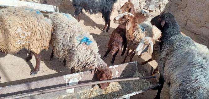 گوسفند گله گرد سرحال فروشی در گروه خرید و فروش ورزش فرهنگ فراغت در خراسان رضوی در شیپور-عکس4