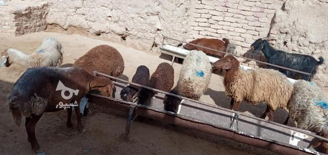 گوسفند گله گرد سرحال فروشی در گروه خرید و فروش ورزش فرهنگ فراغت در خراسان رضوی در شیپور-عکس6