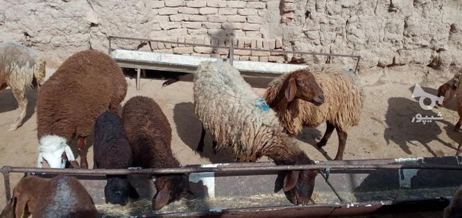 گوسفند گله گرد سرحال فروشی در گروه خرید و فروش ورزش فرهنگ فراغت در خراسان رضوی در شیپور-عکس3
