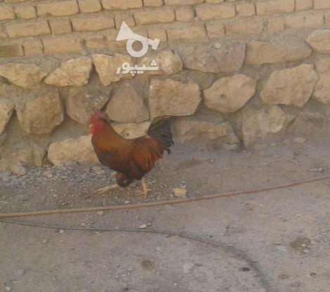یک جفت بقلمون نر و ماده و یک عدد خروس در گروه خرید و فروش ورزش فرهنگ فراغت در زنجان در شیپور-عکس4