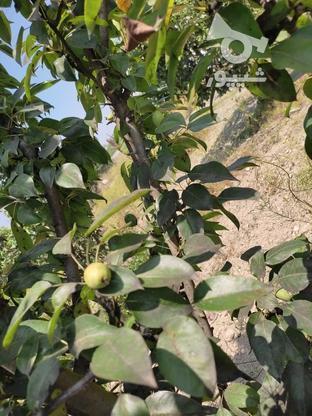 باغ 13 هزارمتر _ جاده گرگان به کردکوی در گروه خرید و فروش املاک در گلستان در شیپور-عکس1