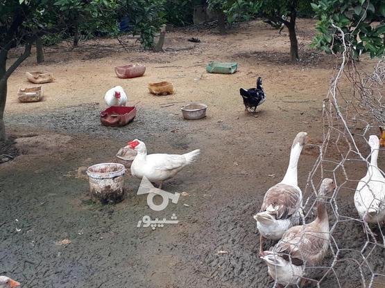 فروش اوردک و غاز وخروس در گروه خرید و فروش ورزش فرهنگ فراغت در مازندران در شیپور-عکس1