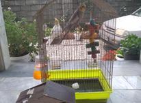 یک جفت طوطی عروس لوطینو و خاکستری مولد در شیپور-عکس کوچک