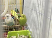 جفت مرغ عشق بالغ در شیپور-عکس کوچک