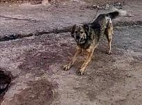 سگ نگهبان قفقازی در شیپور-عکس کوچک