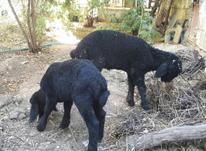 بره نر سالم خرج خور نژاد بوم قم در شیپور-عکس کوچک