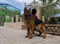 فروش سگ ژرمن -سگ نگهبان در شیپور-عکس کوچک