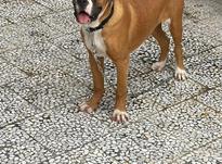 فروش سگ نژاد دار در شیپور-عکس کوچک