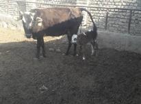 گاو با گوساله نر در شیپور-عکس کوچک
