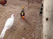 تخم نطفه دار و جوجه قرقاول در شیپور-عکس کوچک