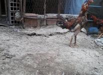 لاری خروس اصیل در شیپور-عکس کوچک