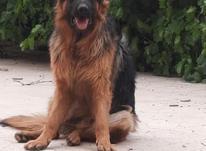 سگ ژرمن شولاین نر در شیپور-عکس کوچک