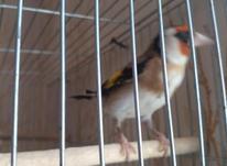 جوجه سهره قفس یکسال ونیم قفس در شیپور-عکس کوچک