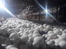 آموزش. پرورش قارچ در شیپور