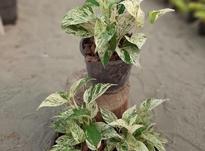 فروش پتوس مرمری سطل3 در شیپور-عکس کوچک