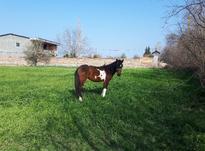 کره اسب مادیون 20 ماهه در شیپور-عکس کوچک